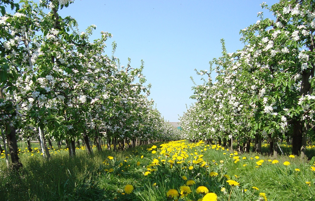 Unsere Apfel Plantage in Öhringen