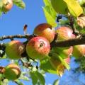 Apfelbaum-Ast aus der Region Hohenlohe.