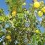 Zitronenbaum aus der Region